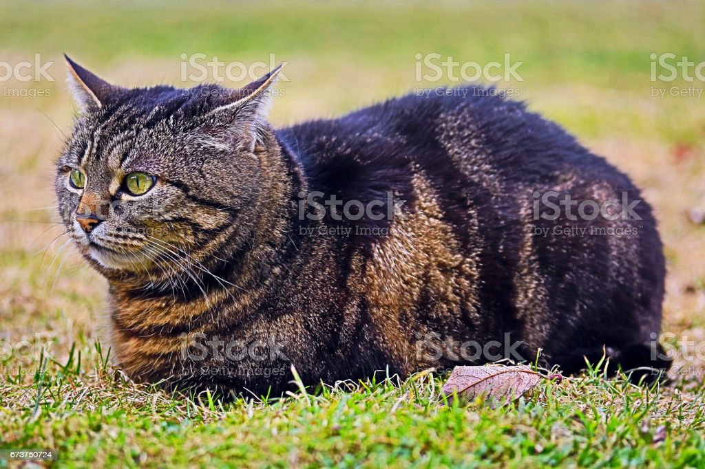 A brown cat is relaxing on the meadow photo libre de droits