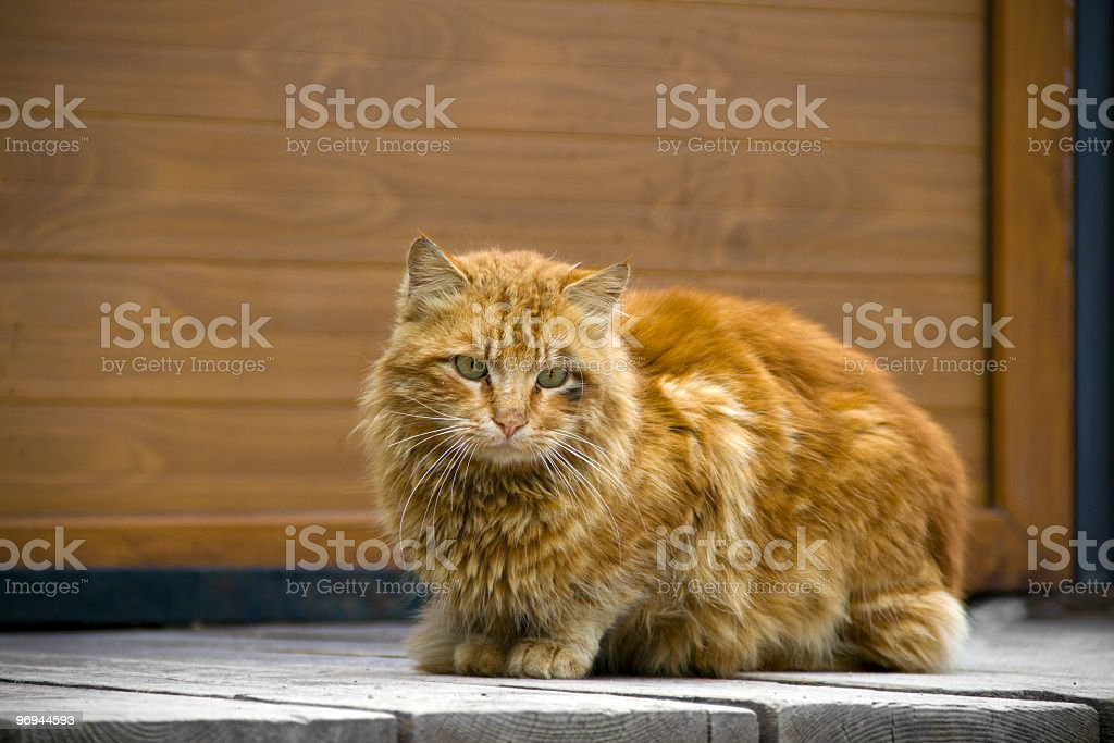 brown cat royalty-free stock photo