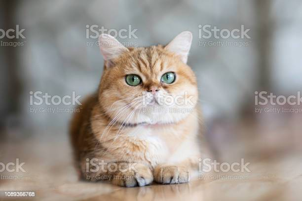 Brown cats sit happily on the floor in the roomsoft focus picture id1089366768?b=1&k=6&m=1089366768&s=612x612&h=i k thicp04njsuxg0hxnrflkjweek1uowwkcmunpdg=