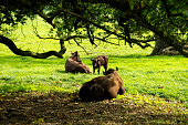 A family of brown cattle (red poll?) - cow, bull and calf - resting under a tree in the Norfolk countryside.