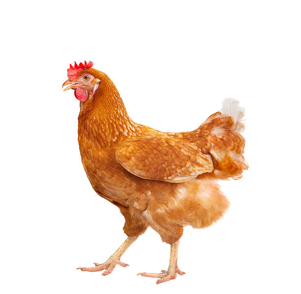 brown chicken isolated white stock photo