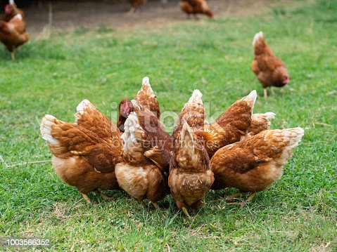 Brown Chickens Eating Food On The Grass Floor Farming Pet Concept