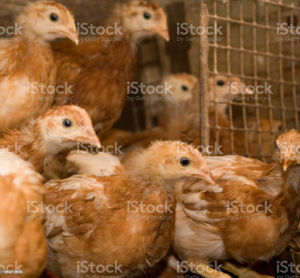 Brown chickens in a cage in a poultry farm royalty-free stock photo