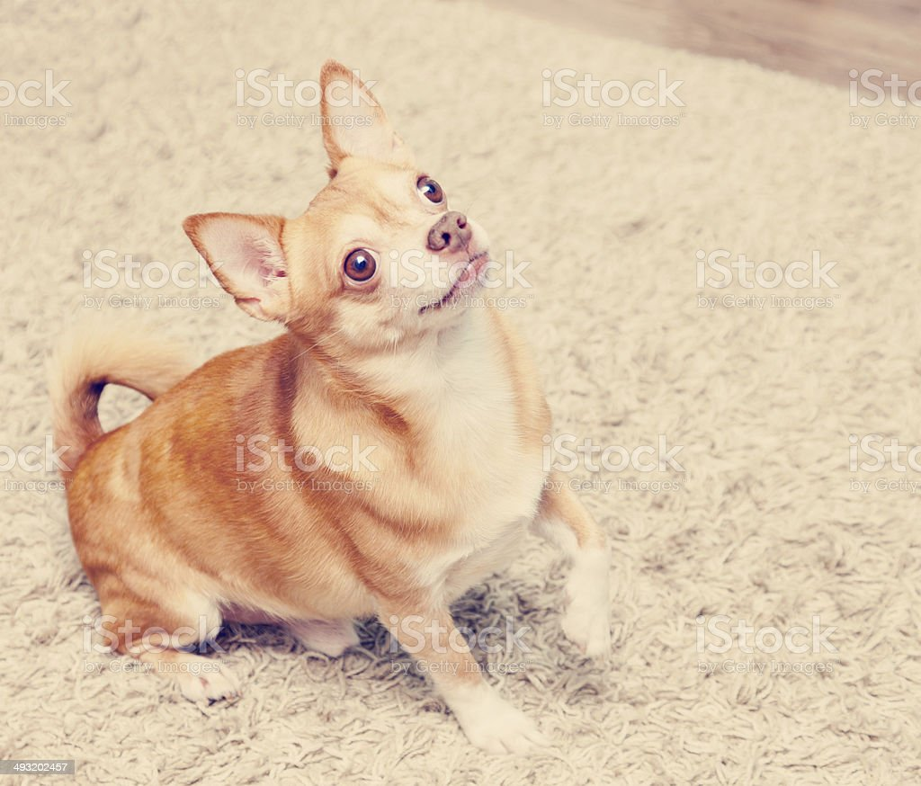 brown chihuahua dog sitting on the carpet, retro instagram effec stock photo
