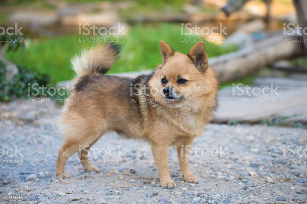 Brown Chihuahua Mixed breed dog is standing and looking to left side...