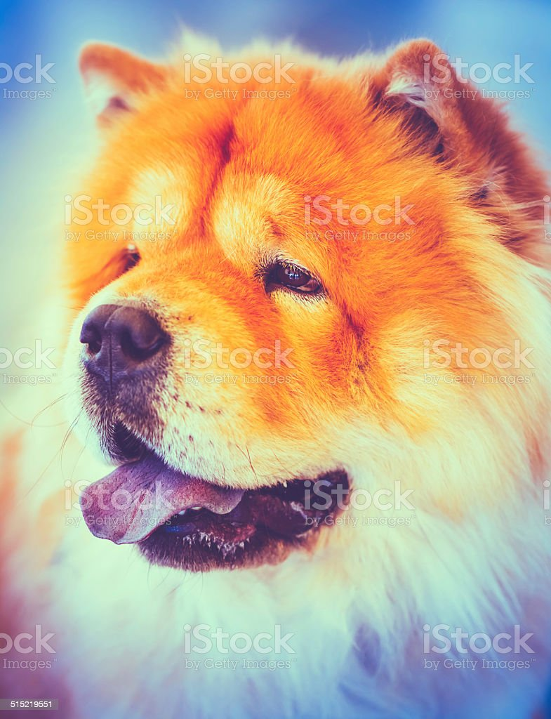 Brown Chines Chow Chow Dog. Toned Like Instant Photo stock photo