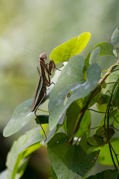 Brown Chinese Preying Mantis on a Leaf stock photo