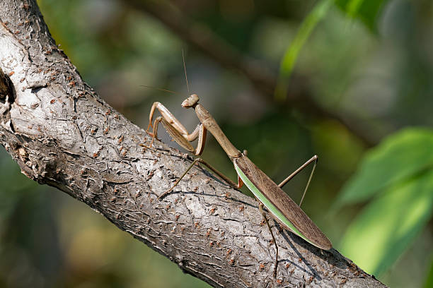 Brown Chinese Preying Mantis Sitting On A Branch stock photo
