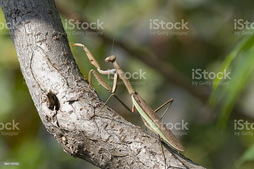 Brown Chinese Preying Mantis Walking Up A Branch stock photo