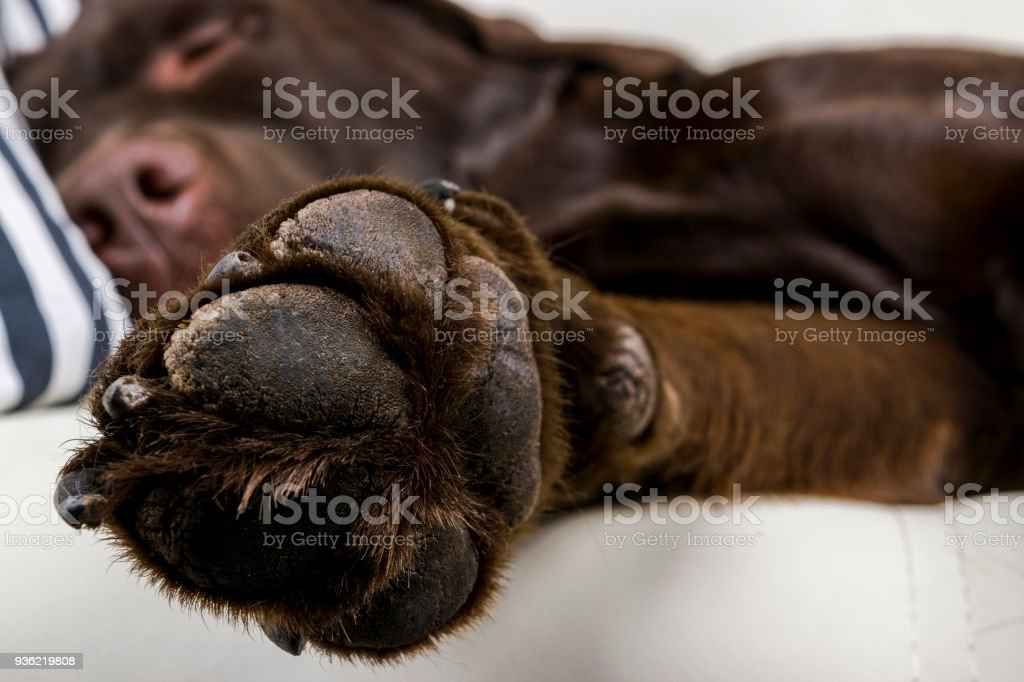 Great Chocolate Brown Adorable Dog - brown-chocolate-labrador-retriever-dog-is-sleeping-on-sofa-with-on-picture-id936219808  2018_386739  .com/photos/brown-chocolate-labrador-retriever-dog-is-sleeping-on-sofa-with-on-picture-id936219808