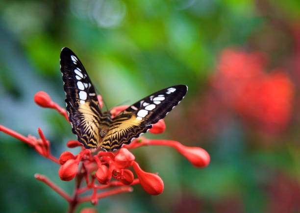 brown clipper butterfly on red flower stock photo
