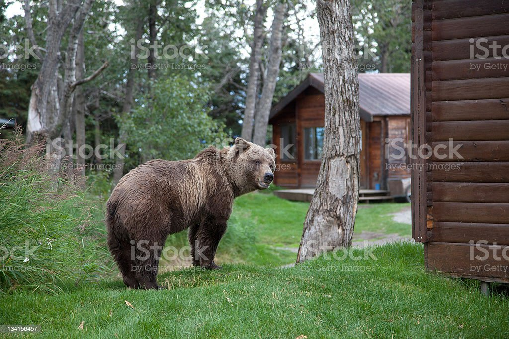 Brown Coastal Bear stock photo