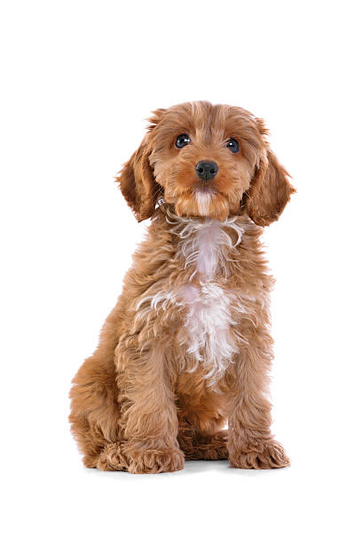 Brown Cockapoo puppy sitting with white background stock photo