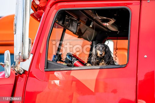 In the window of a professional semi truck a handsome venerable martial spotted Cocker Spaniel dog peeks out - a real helper, friend and protector on the road during the voyages