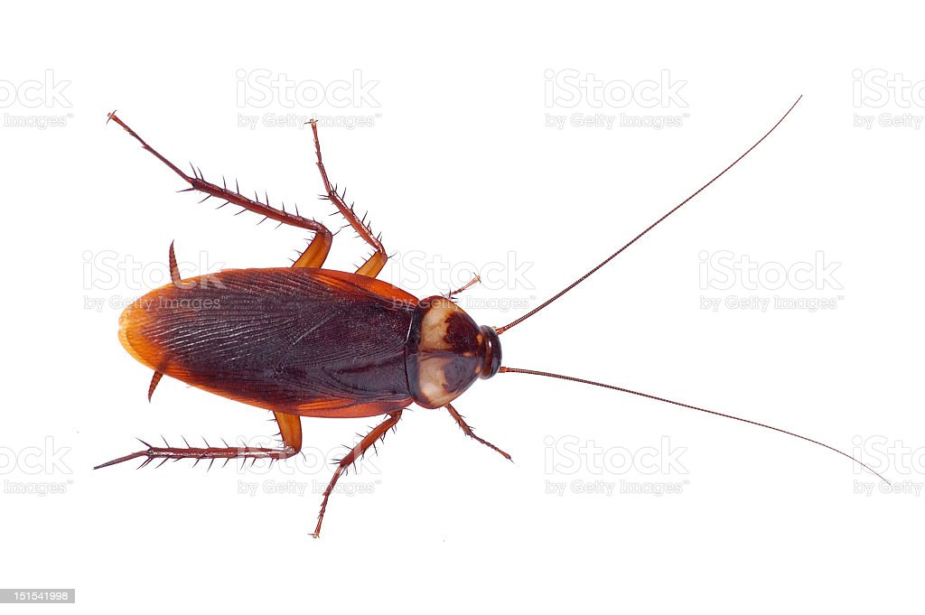 Brown cockroach on a white background stock photo