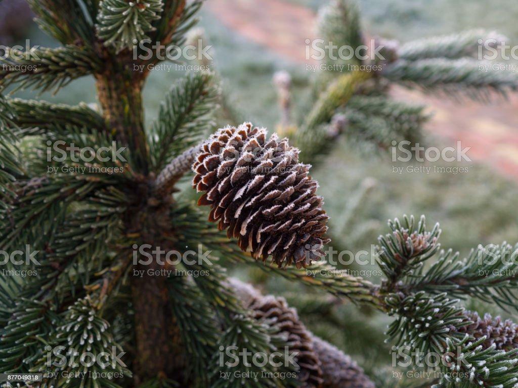 Weihnachtsbaum Nadeln.Braune Zapfen Weihnachtsbaum Nadeln Fallen Mit Frost Makro