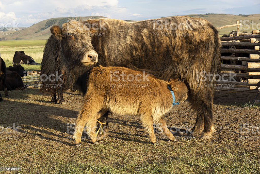 Brown cow and calf suckling stock photo