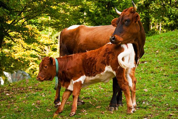 Braune Kuh und Ihr Kalbsleder – Foto