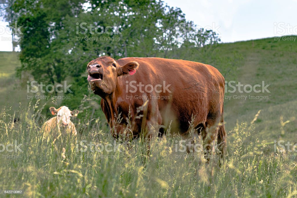 Brown cow bawling  in a field of tall grass stock photo