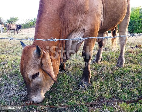 Brown cow eating at organic farm in Martinique, French West Indies. Cows in Caribbean meadow. Close-up of brahman cow.