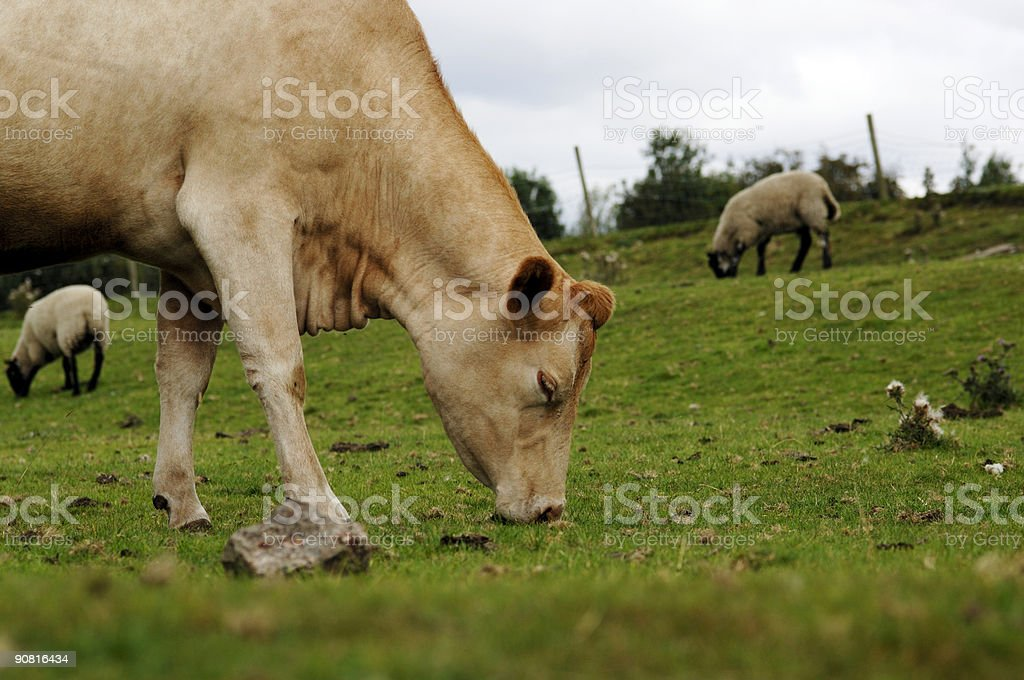 Brown cow, field eating grass, sheep in background stock photo