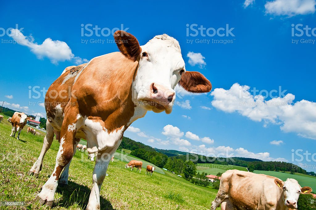 Brown Cow in Austrian Landscape stock photo