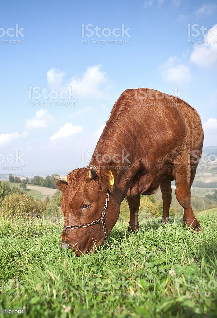 Brown cow in field royalty-free stock photo
