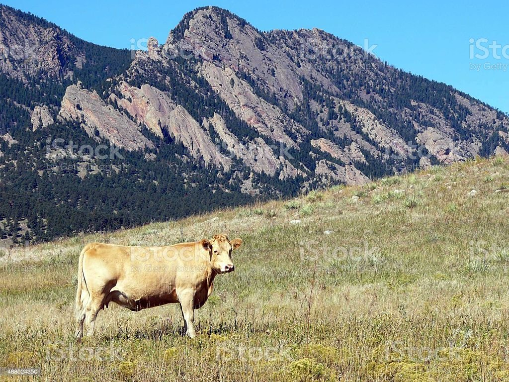Brown cow in field stock photo