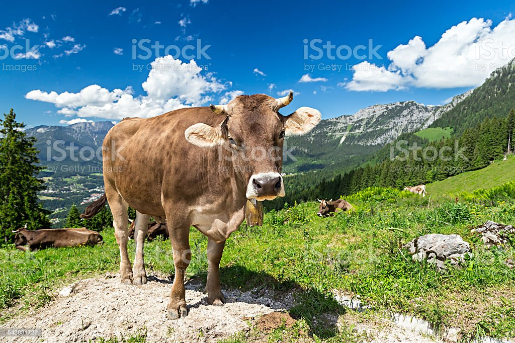 brown cow in mountain landscape stock photo