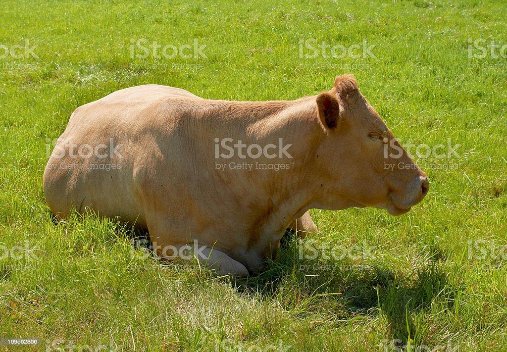 Braune Kuh in der Wiese – Foto