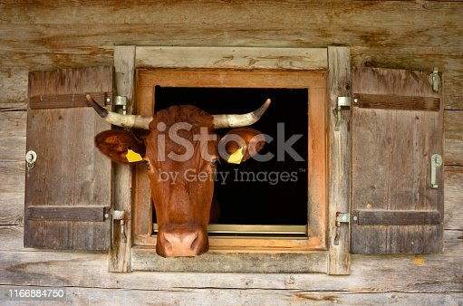 brown cow looking through the wooden window of an alpine stable at Bavarian alps, Berchtesgaden national park