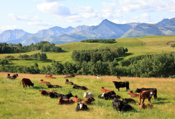 Brown Cow on a Cattle Ranch in Montana stock photo