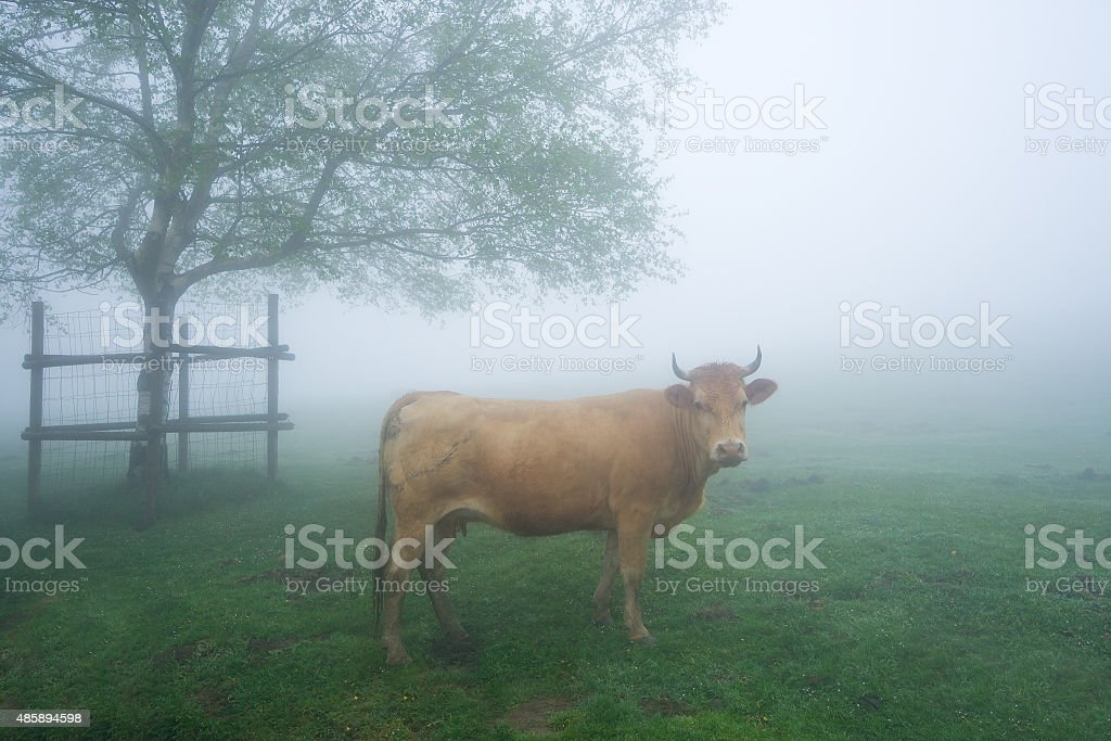 brown cow on foggy field stock photo