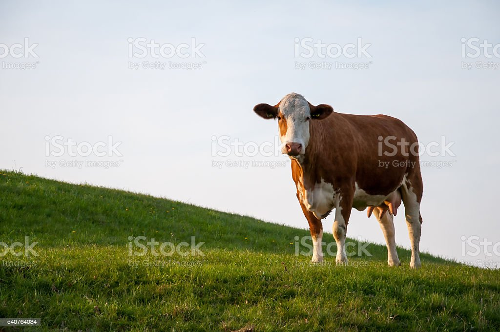 Brown cow on meadow – zdjęcie