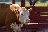 istock Brown cow on the farm 1285512125