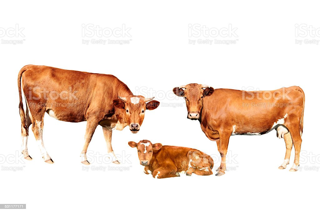 brown cow stock photo