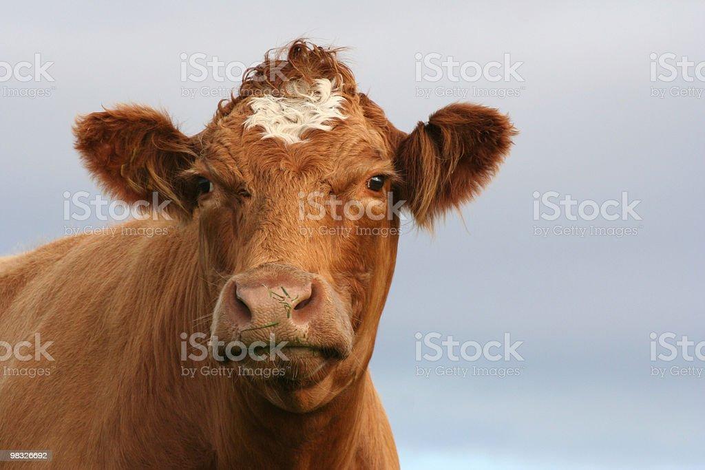 브라운 cow royalty-free 스톡 사진