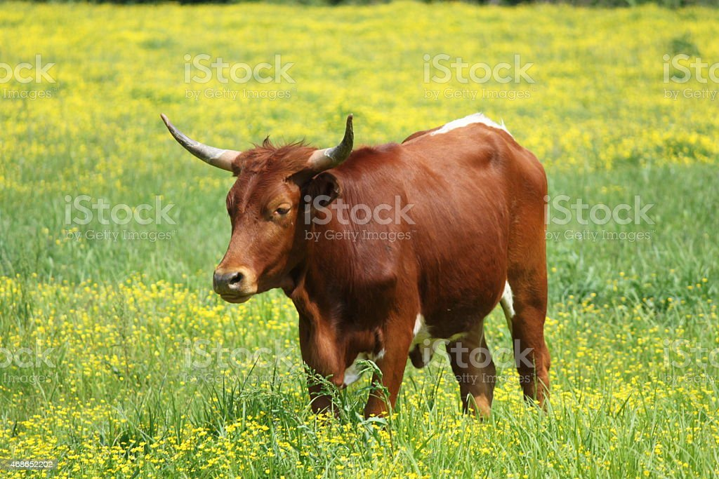 Brown Cow with horns stock photo
