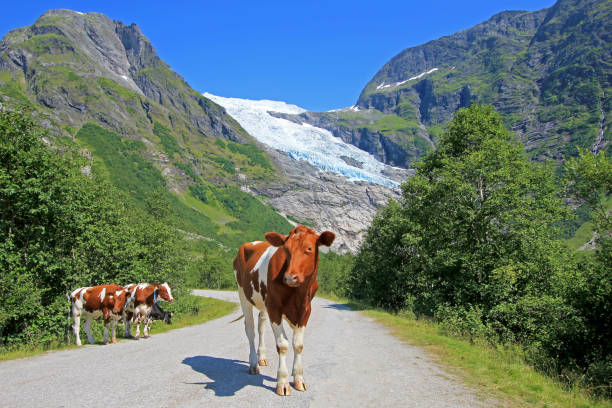 Brown cows in front of Boyabreen glacier, Norway, Europe stock photo