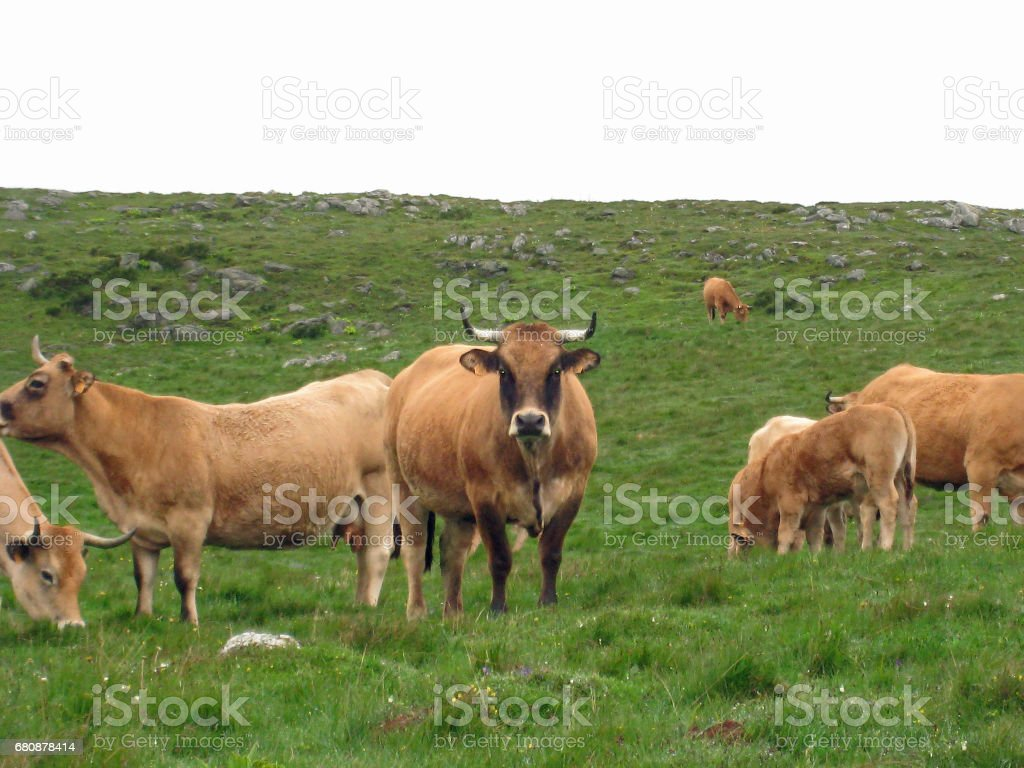 Brown cows on the green grass royalty-free stock photo