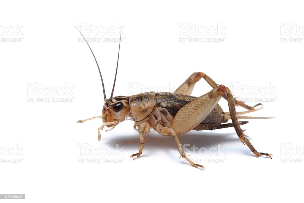 Brown cricket close-up on white background stock photo