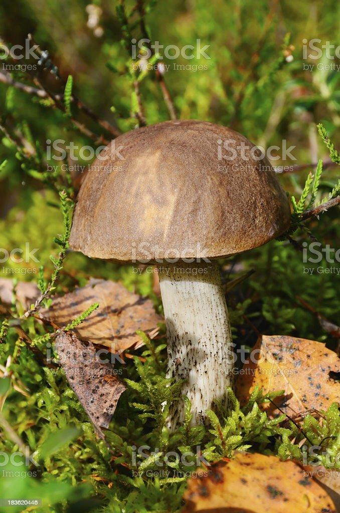 Brown cup mushroom royalty-free stock photo