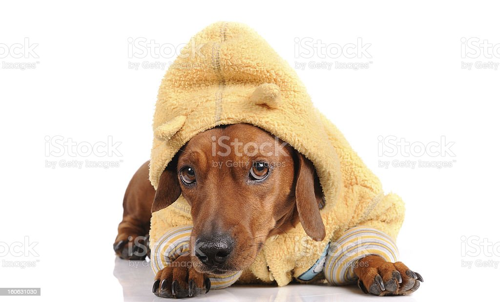 brown dachshund dog isolated over white background royalty-free stock photo