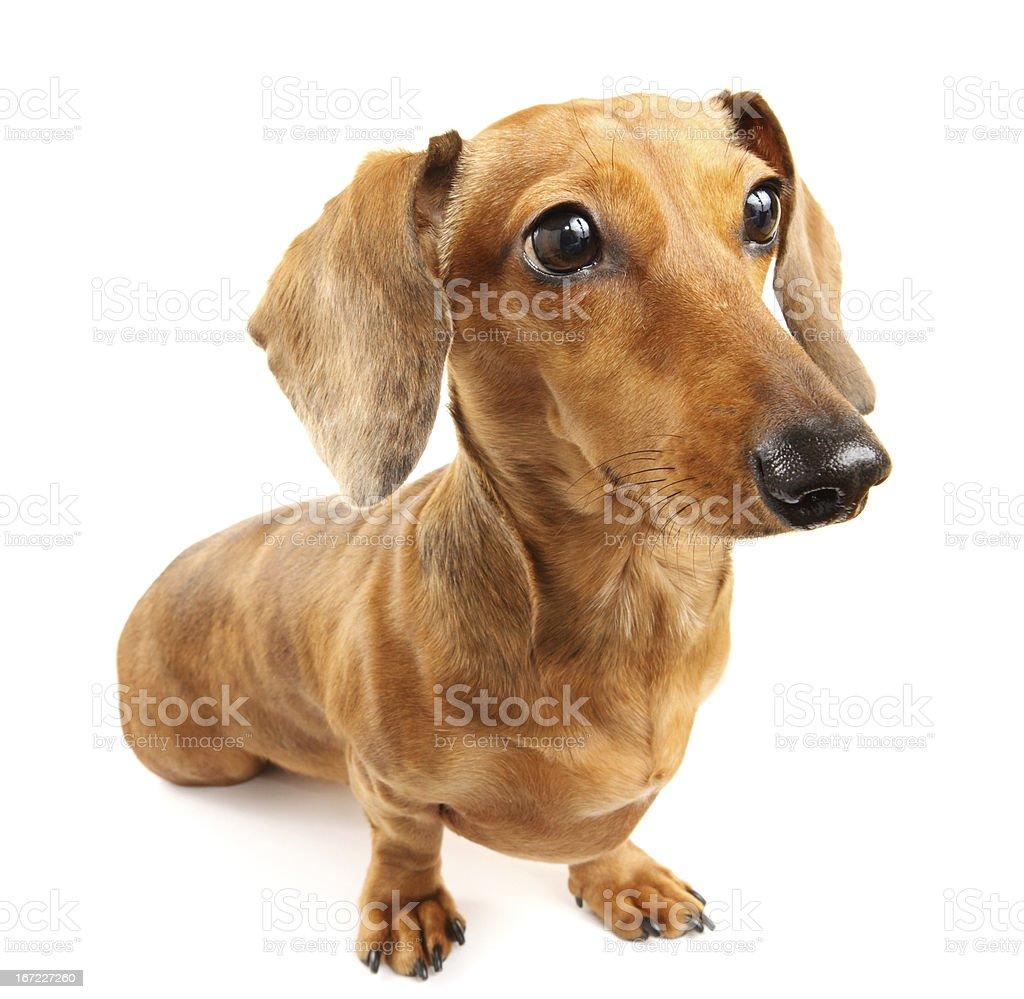 brown dachshund dog royalty-free stock photo