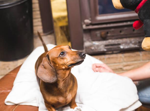 Brown dachshund looking at toy picture id942881160?b=1&k=6&m=942881160&s=612x612&w=0&h=vcvyrwyvkvpq1j2p5olotyhjxuepx3ssbj8 cstooui=