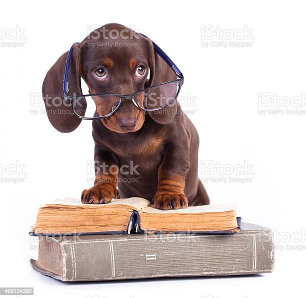 Brown dachshund puppy wearing glasses and standing on books picture id469134392?b=1&k=6&m=469134392&s=612x612&h=bgzmlalew 3zrd9bz3o3qwji 0of2ljxbcfpah8xcyg=