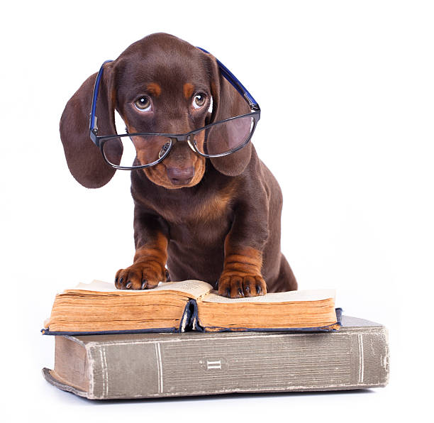 Brown dachshund puppy wearing glasses and standing on books picture id469134392?b=1&k=6&m=469134392&s=612x612&w=0&h=pqi 1ysuiosi0dgicvhaoq7py66bg2d6my77iwwgi98=