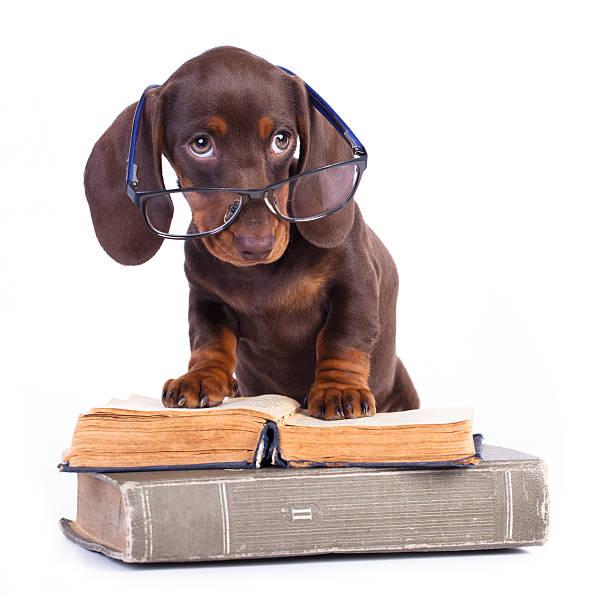 purebred dachshundr - humor bücher stock-fotos und bilder