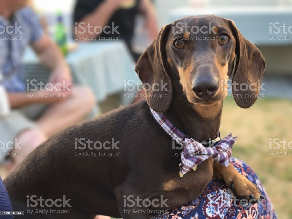Brown Dachshund with Bowtie stock photo