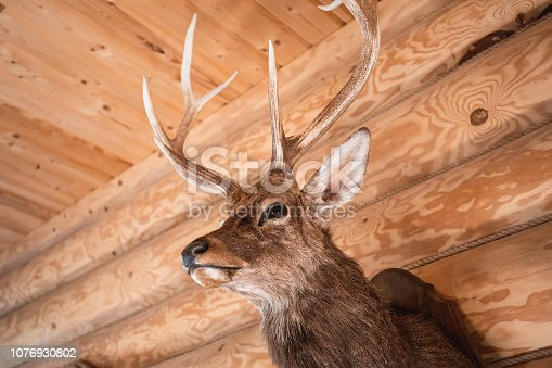 Brown deer head on wooden wall background. Animals draft or trophy decorative object. Taxidermy concept.